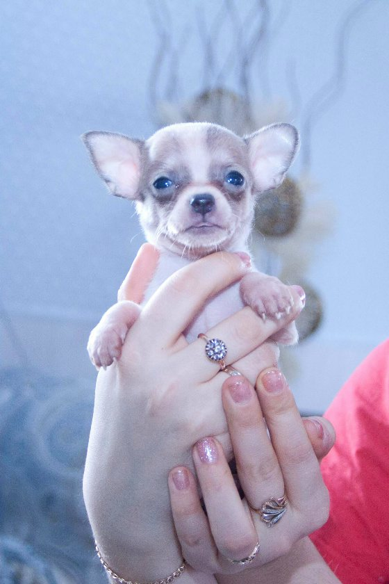 Chihuahua puppies from kennel dream of crystal. Rare colors. RKF