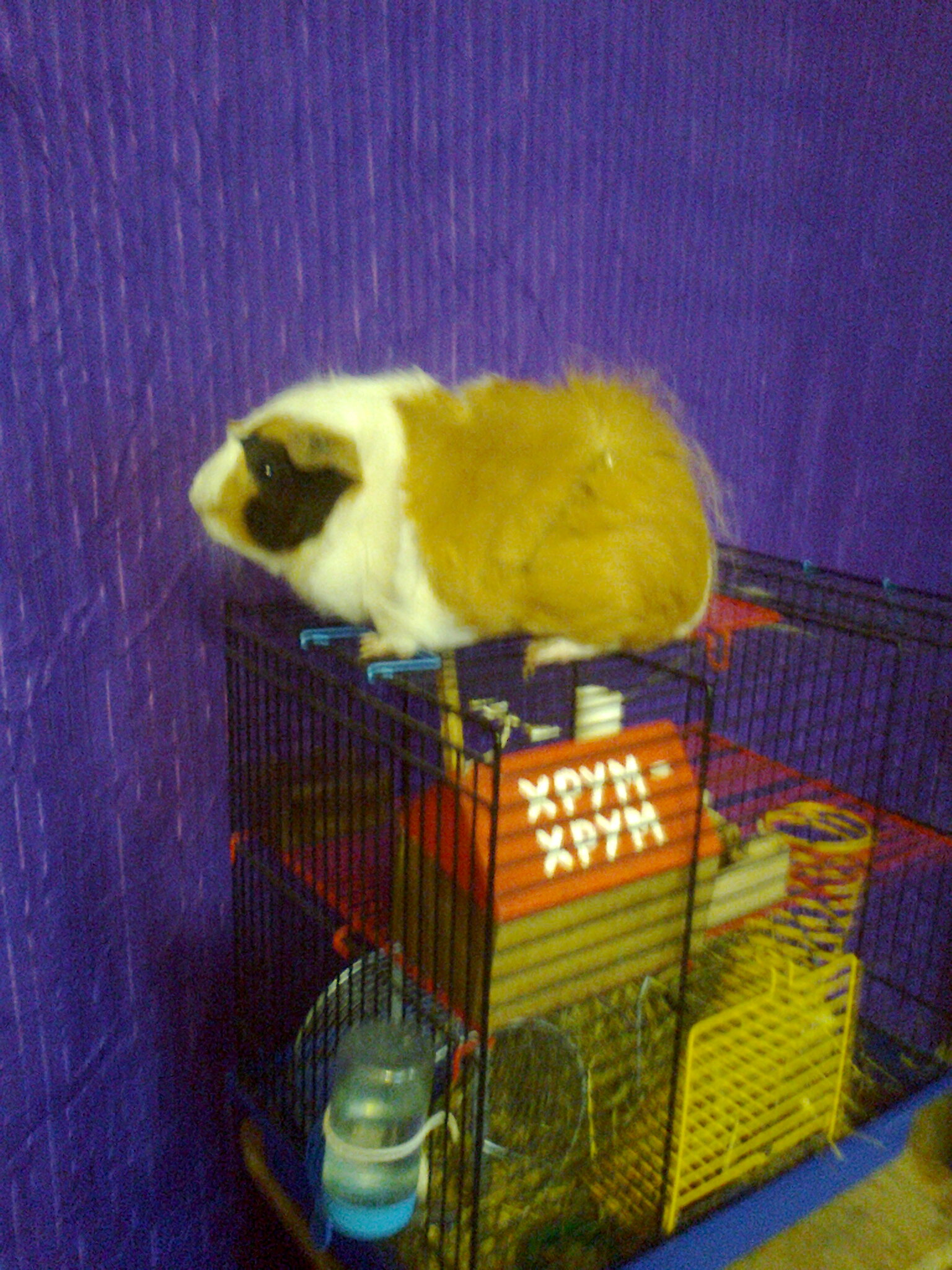 a Guinea pig. shipping. you can cage