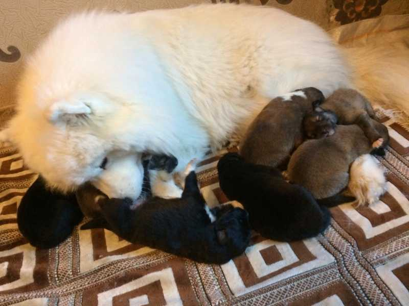 Puppies mix purebred Samoyed and collie