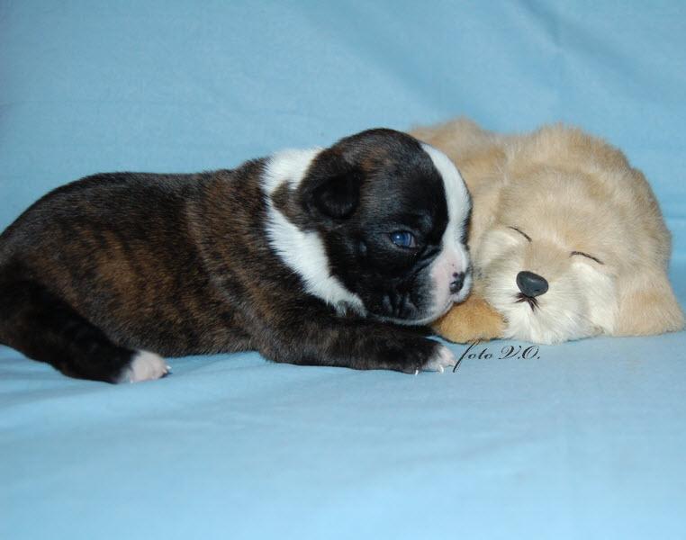German boxer puppies