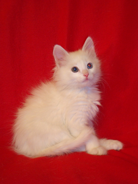 Angora kitten in good hands