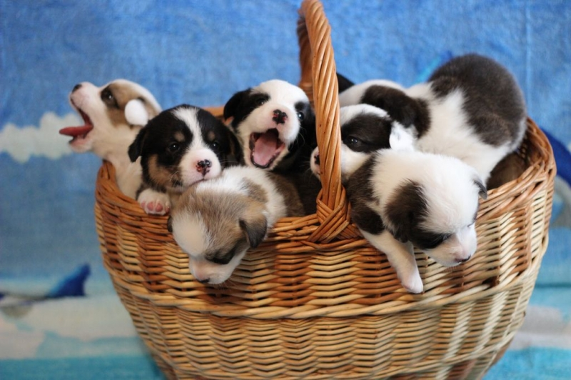 Puppies of Welsh Corgi cardigan
