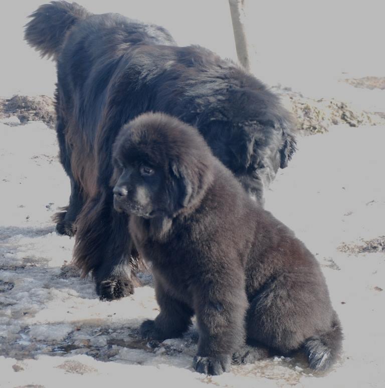 Puppies of Newfoundlan.in St. Petersburg