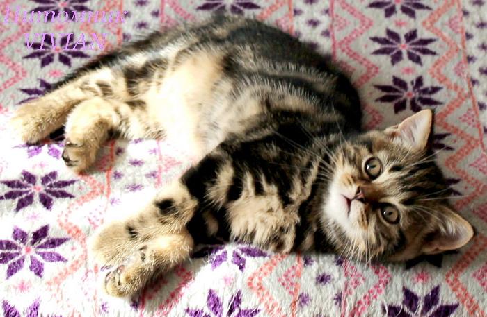 Marble British cat club. 3 months