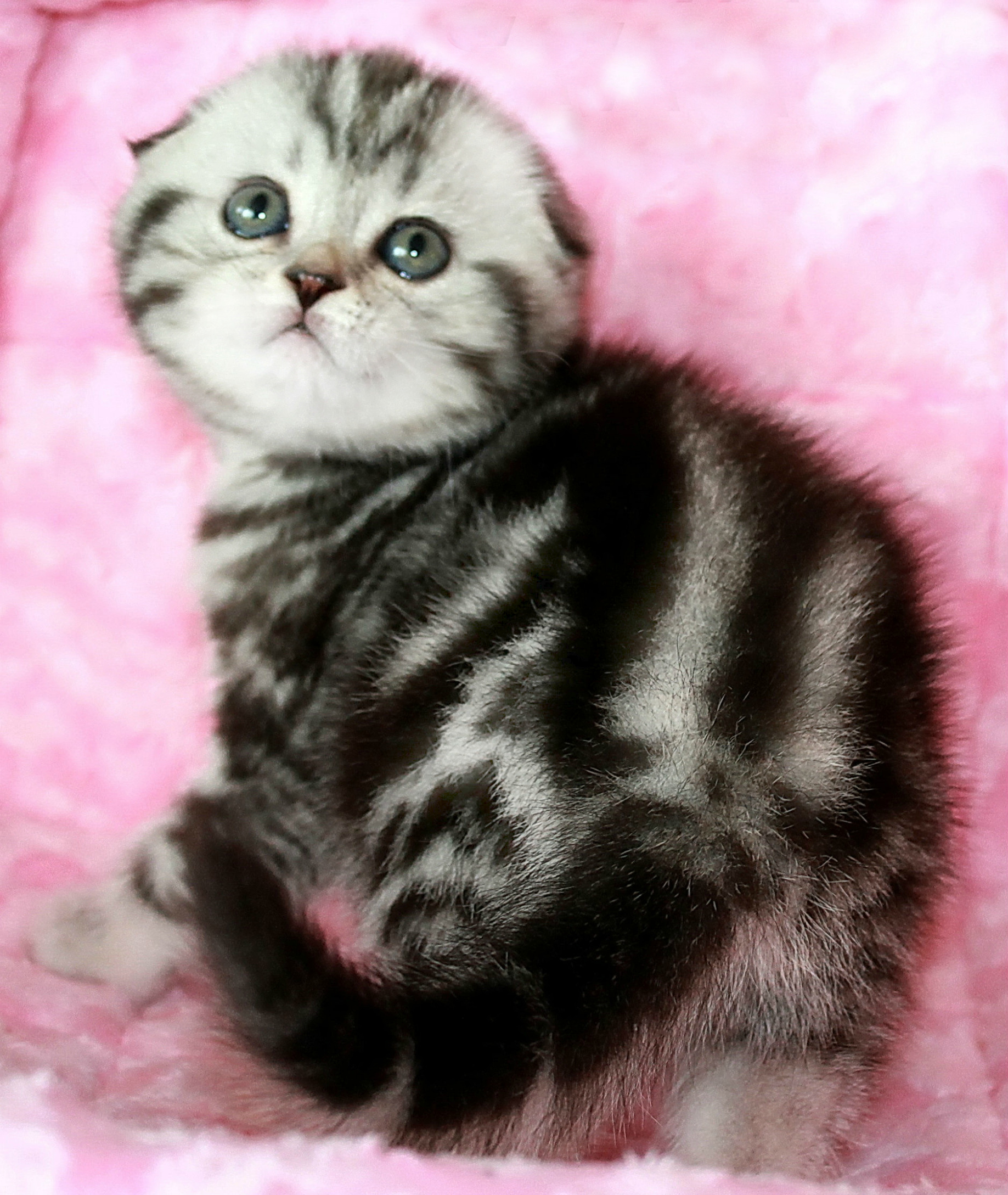 Scottish fold girl black marble on silver