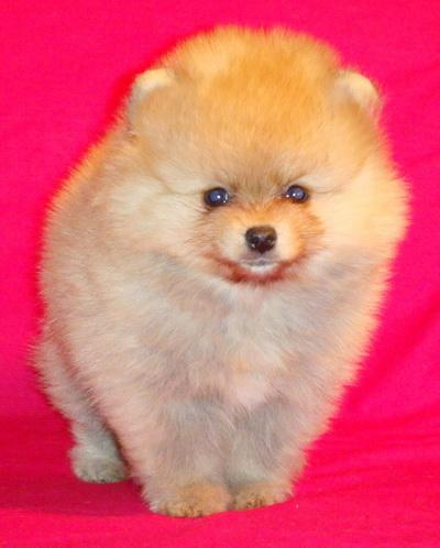 Spitz Pomeranian dwarf