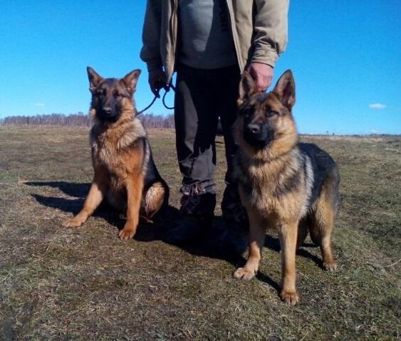 Show class German shepherd