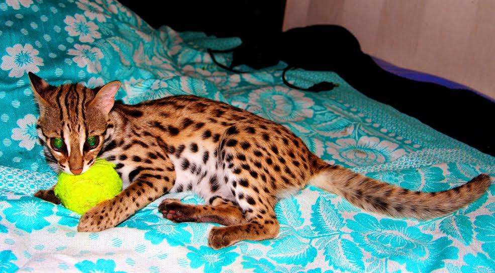 азиатская леопардовая фото цена кошка