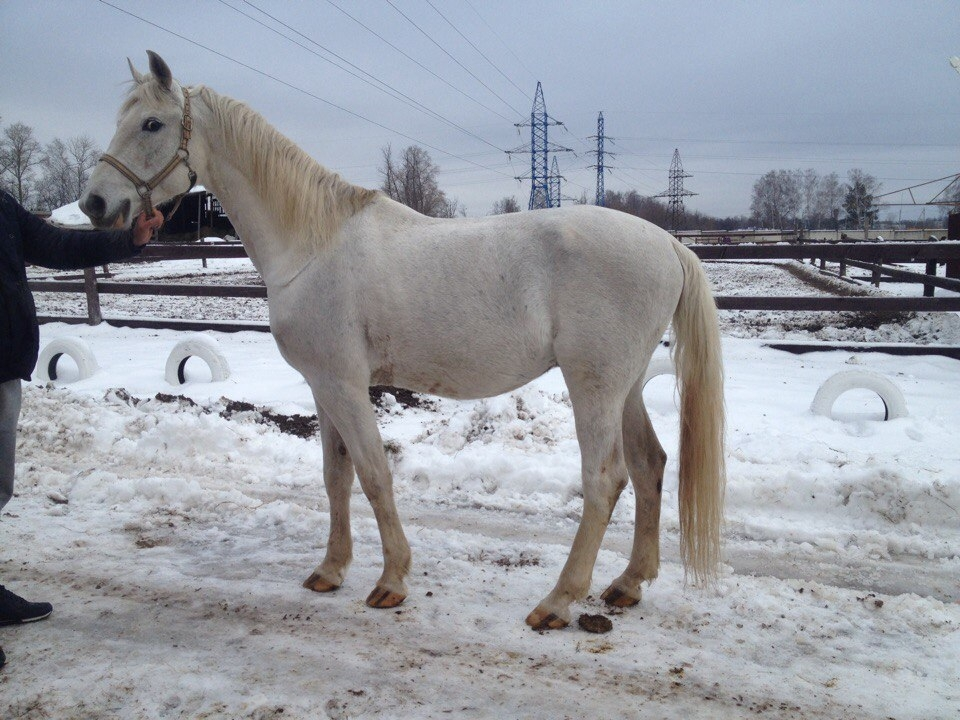 Sell horse Orlov Trotter
