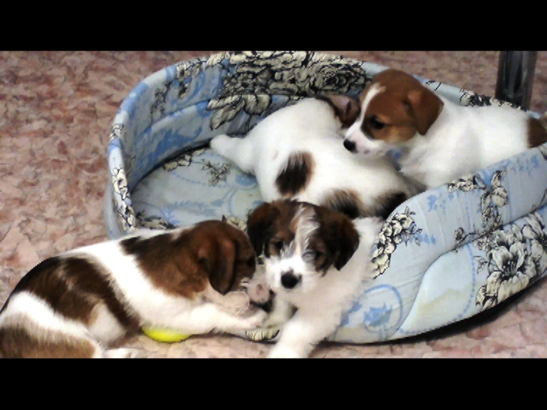 Sold shinkigeki Russell Terrier excellent pedigree! 2 females and 3 males