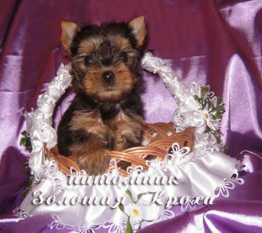 New litter of puppies Yorkshire terrier