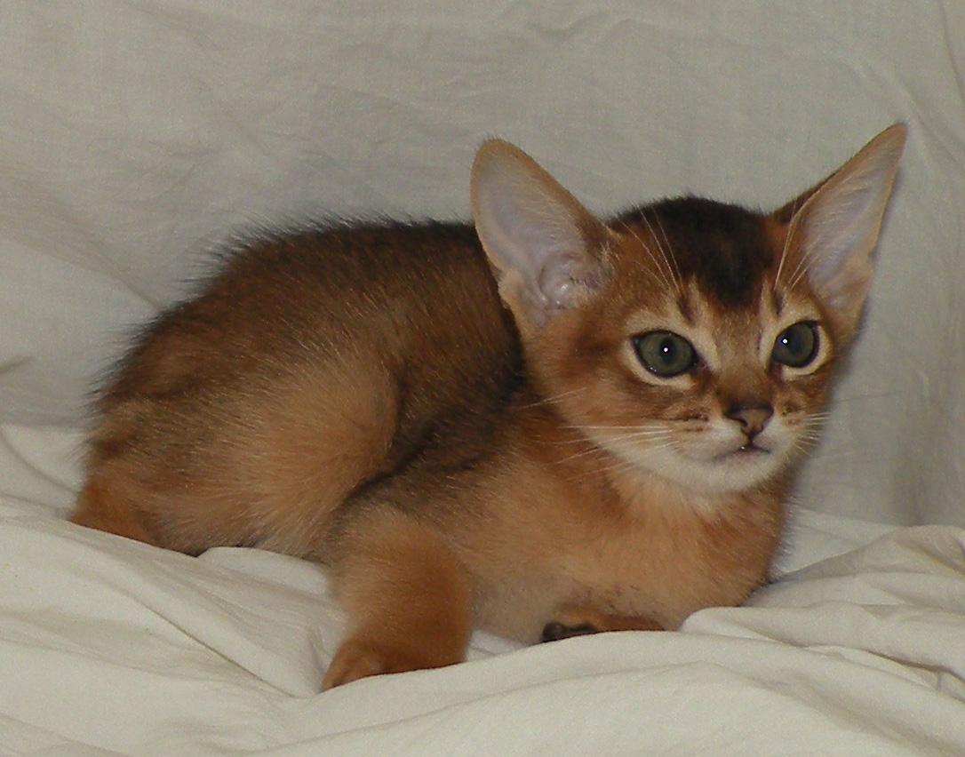MARTIN-Abyssinian cat