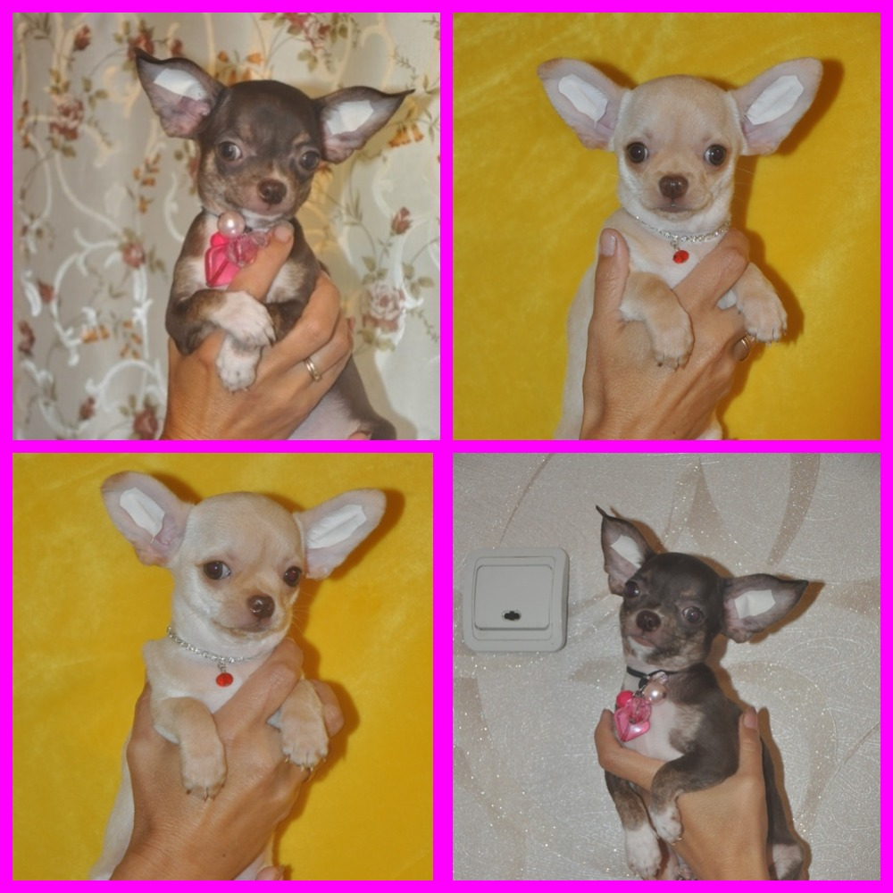 Chihuahu.two brothers