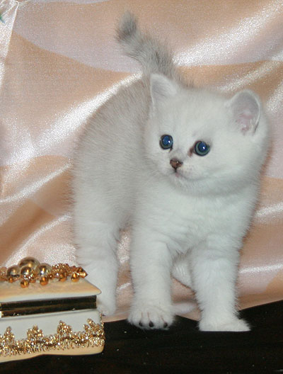 British kittens color silver chinchilla with emerald eyes in the kennel Mon Ami