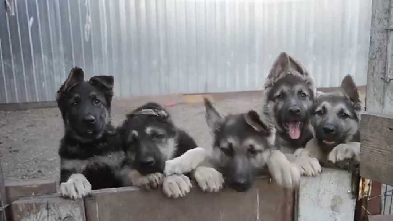 German shepherd puppies VEO gift, documents RKF