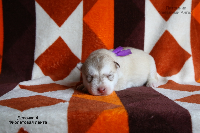 Puppies of Siberian husky from the kennel)