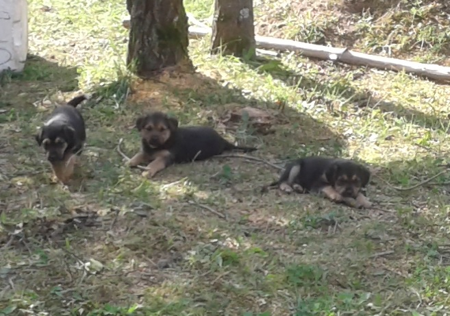 Rottweiler puppies in good hands