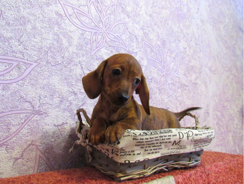 Puppies Dachshund kaninchen and miniature
