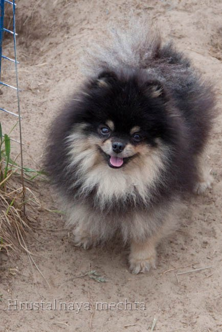 Spitz. Black and tan Pomeranian