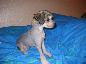 Chinese Crested - NAKED lovely baby!