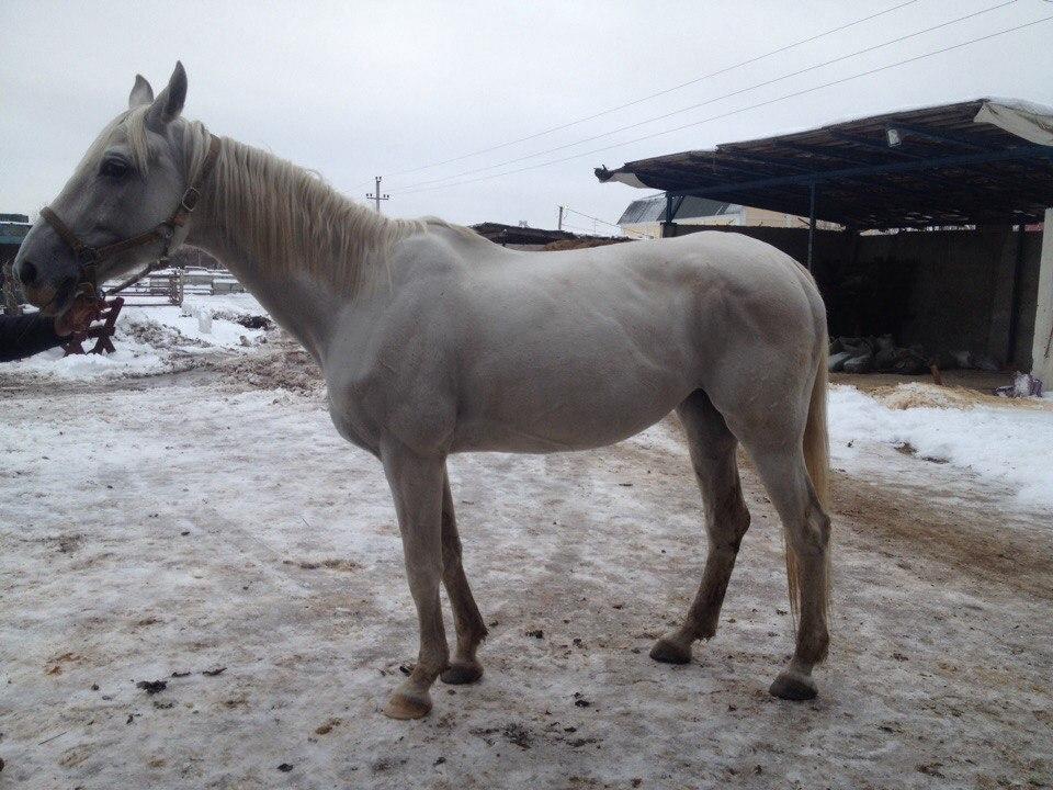 Sell horse Orlov Trotter in Balashikha