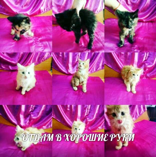 Beautiful pedigree kittens