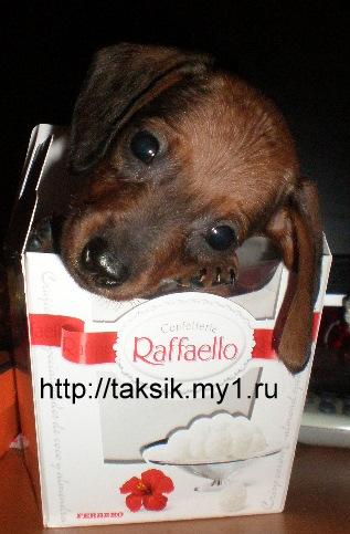 Dwarf dachshund, dachshund Rabbit