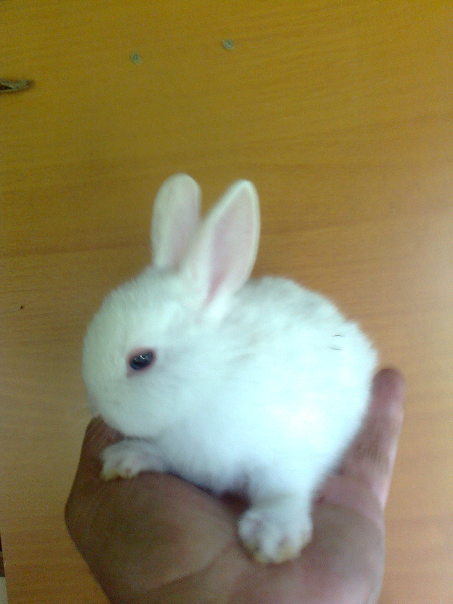a dwarf rabbit. shipping. Joni