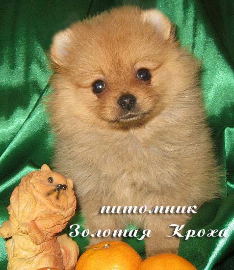 Puppies Pomeranian dwarf spire