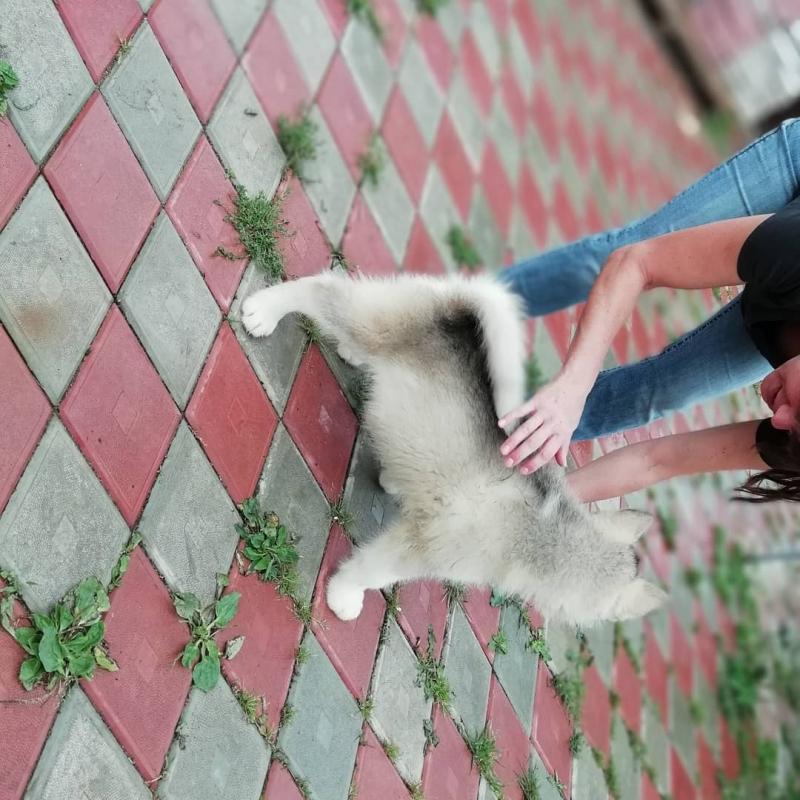 Sell puppies Alaskan Malamute