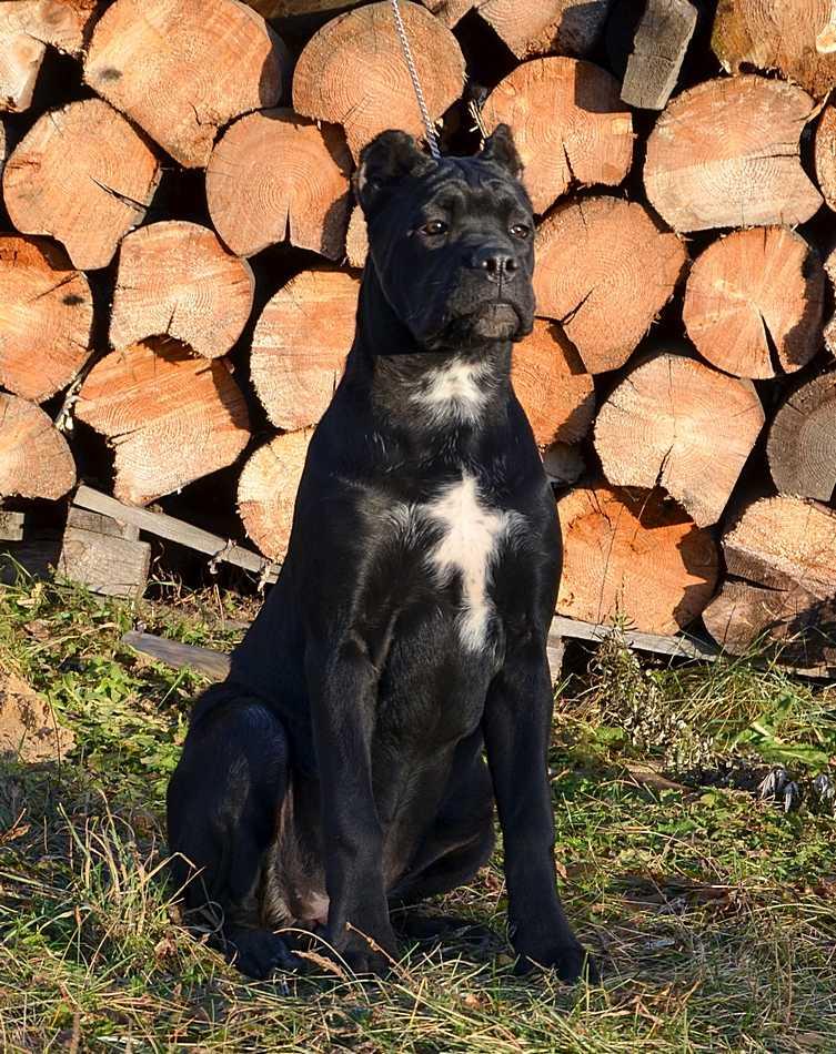 Beautiful puppies - decency cane Corso