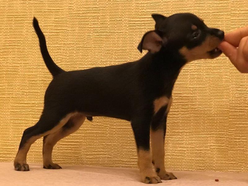 The Prazsky krysarik puppy