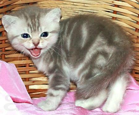 British club cat harlequin