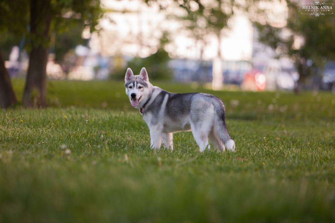 Siberian husky from the kennel of Anro Fortuna RKF