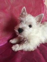 The West highland white Terrier puppies