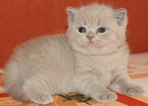 Sale of British pedigree kittens
