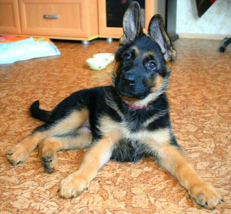The puppy German shepherd