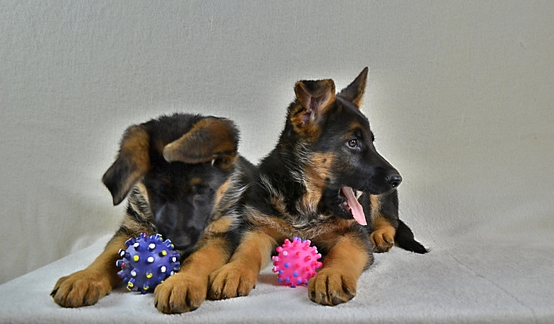 Puppies German shepherd.