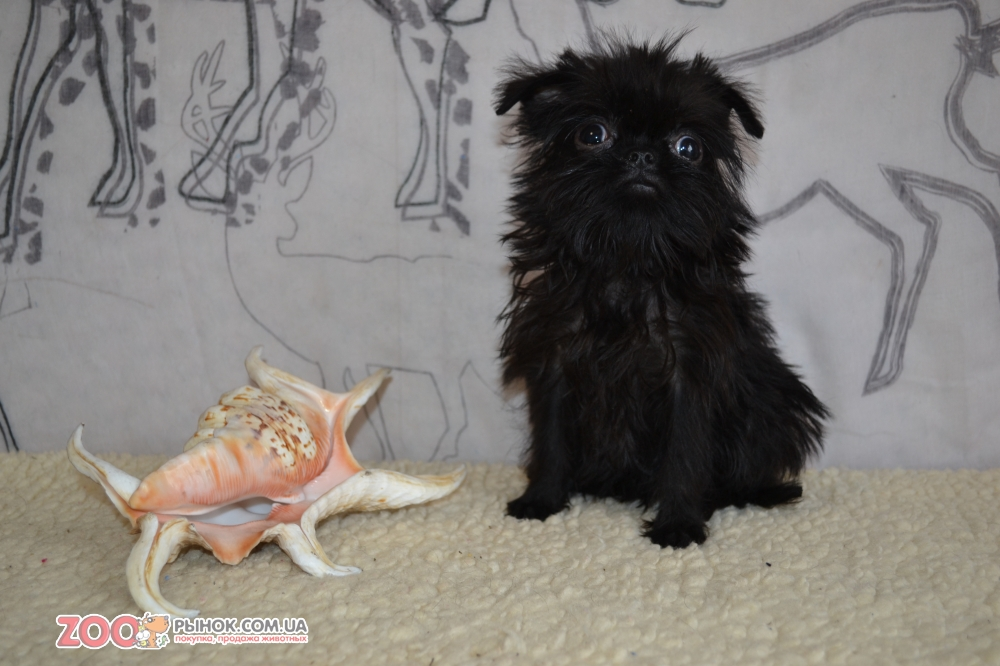 Exclusive puppy Griffon