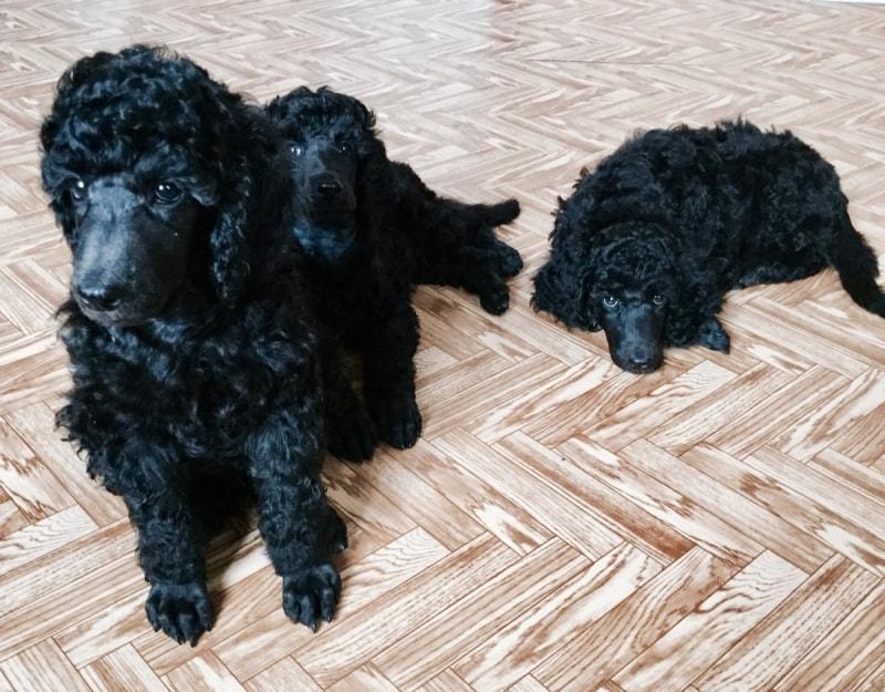 Puppies Royal (large) poodle