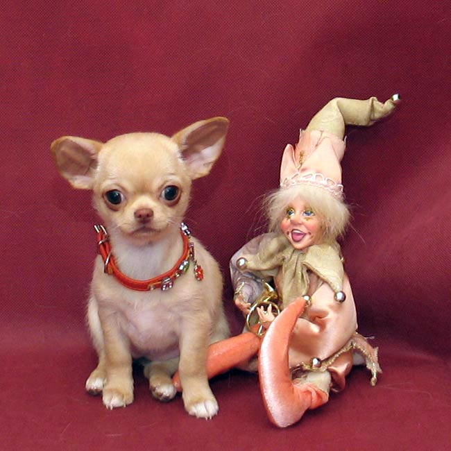 Chihuahua chic g-sh girl, not expensive