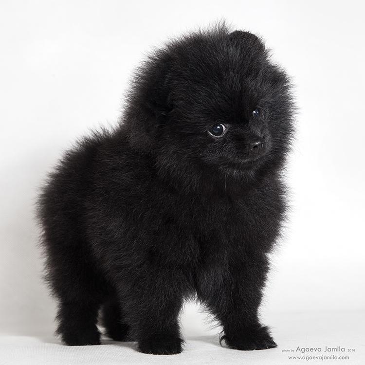 Spitz Pomeranian - plush puppies