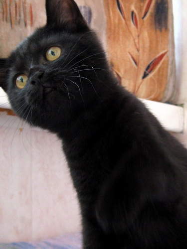 British black kitten from our cattery