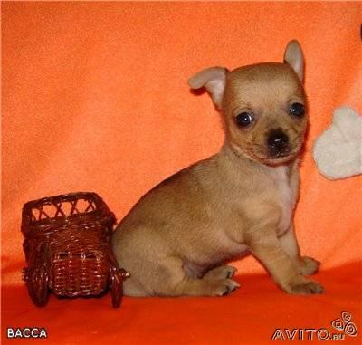 Chihuahua babies, puppies