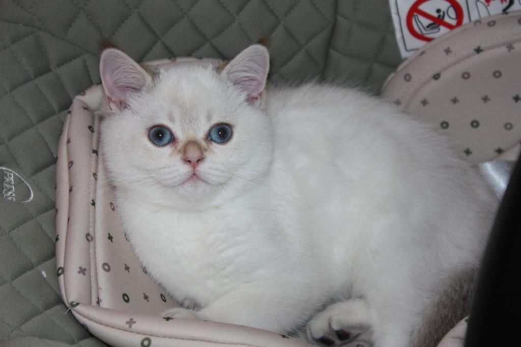 Scottish cat