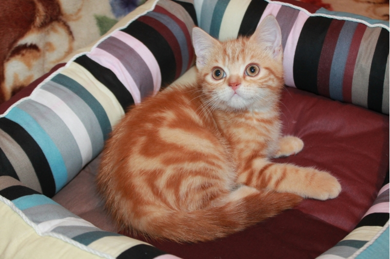 Kittens Scottish 2, 5 months