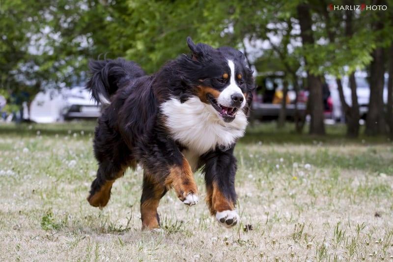 Young male Bernese mountain dog binding