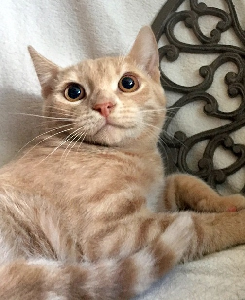 Gentle ginger kitten Mitrich looking for a home