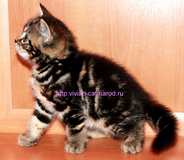 British kittens black marble