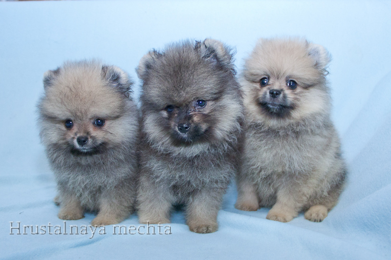 Pomeranian of kennel crystal dream